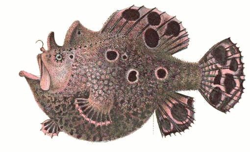 frogfish species