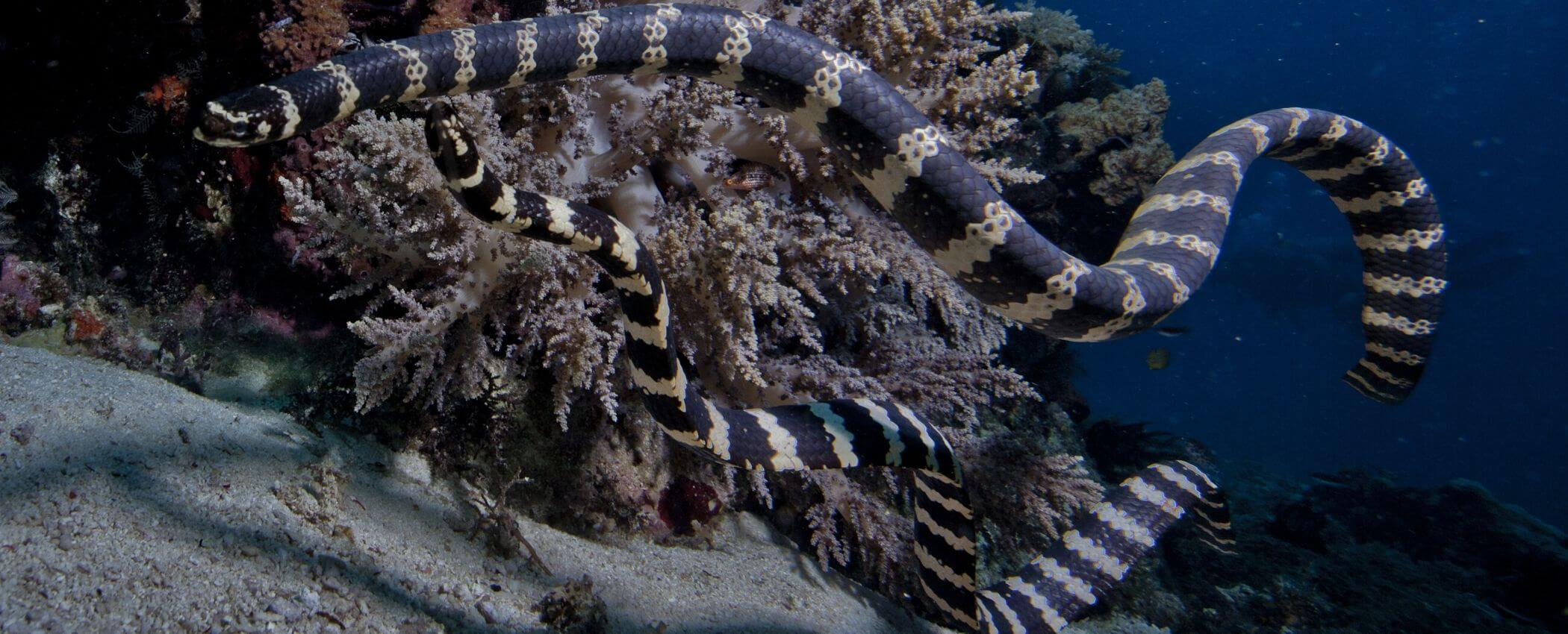 philippines seasnakes