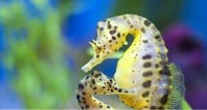 Giraffe seahorse