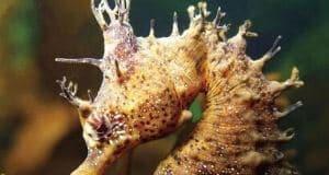 Knobby Seahorse