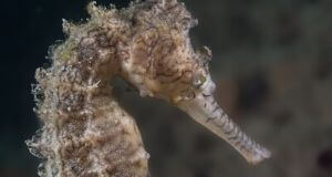 tiger snout seahorse