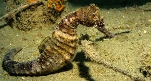 West African Seahorse