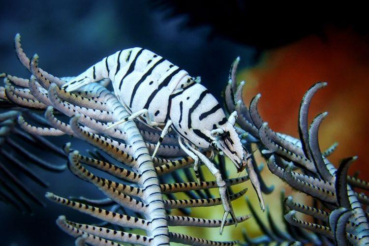 Zebra Crinoid Shrimp