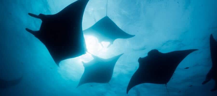 manta rays komodo