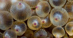 rose bulb bubble anemone