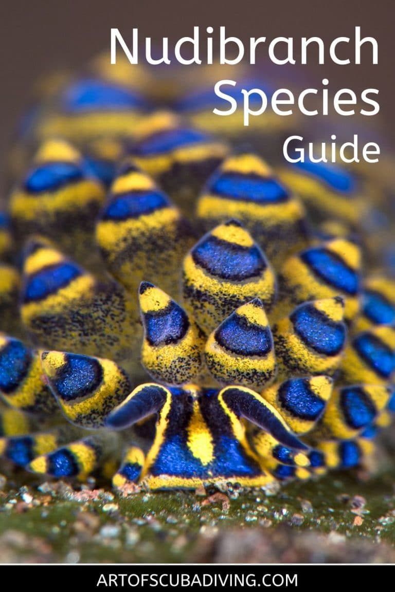 nudibranch species