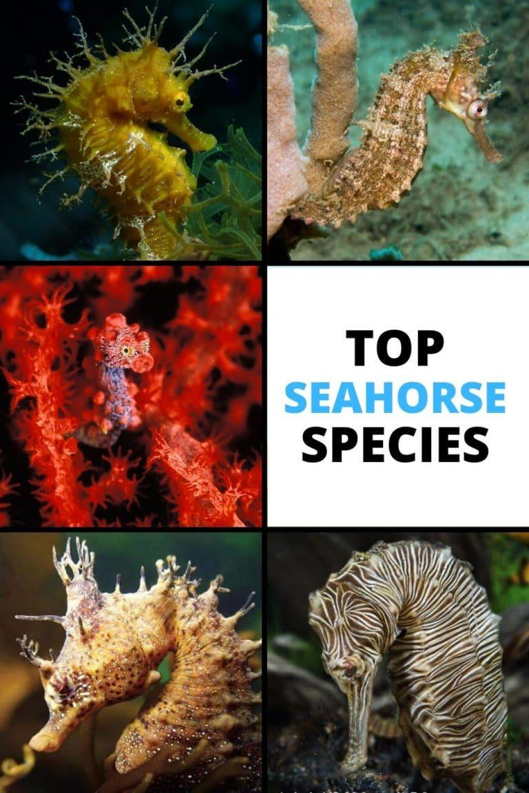 species of seahorses
